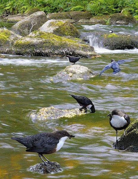 Dipper from the Crossley ID Guide Britain and Ireland