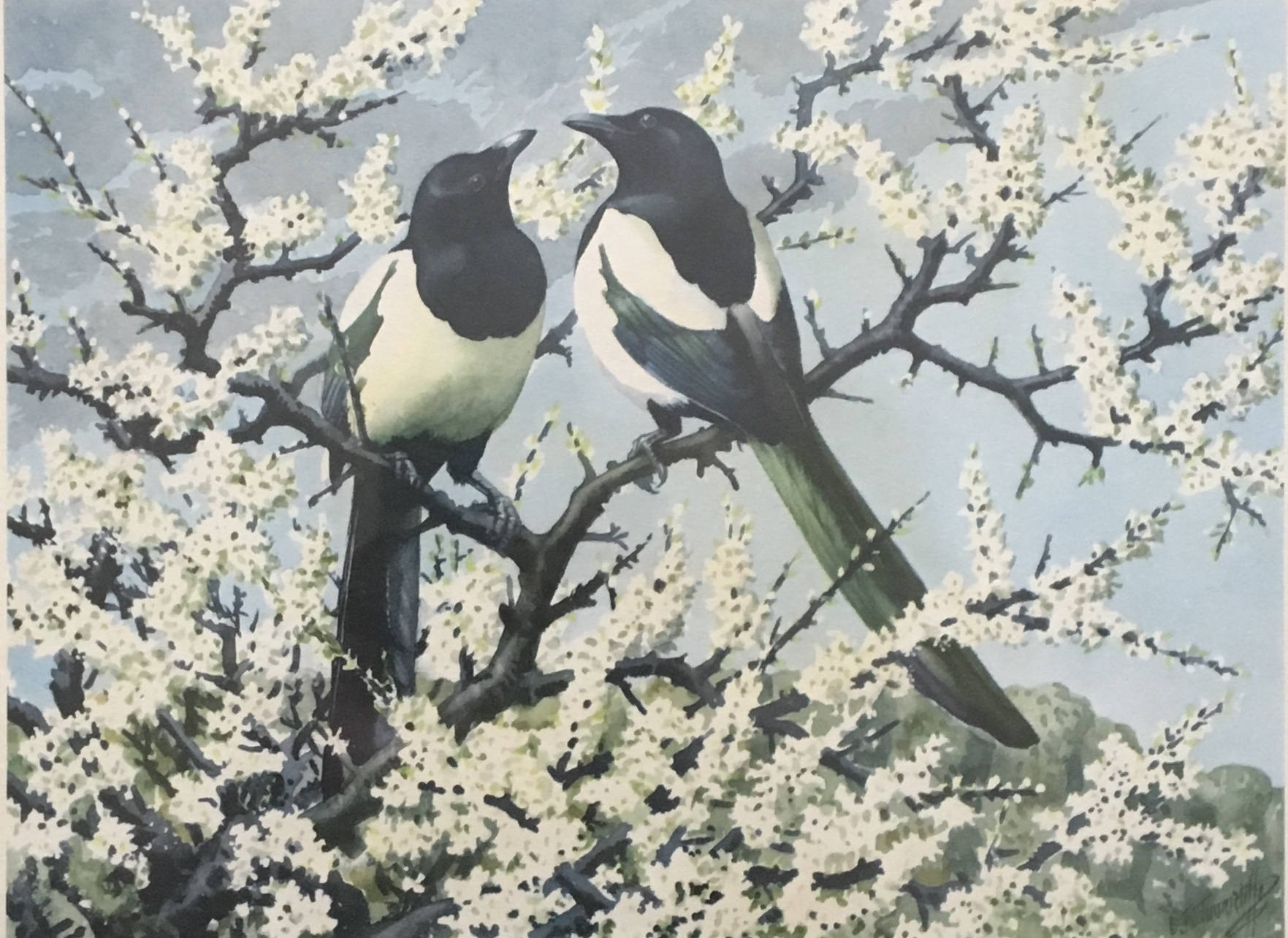 Magpie by Charles F. Tunnicliffe, OBE, RA (1901-1979)