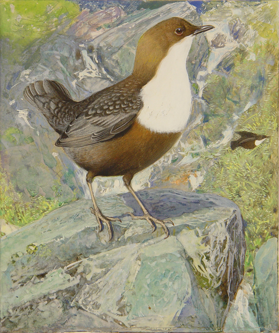 Dipper, The Dipper, Colley or Water Ousel