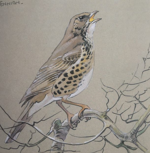 Magic: Mistle Thrush