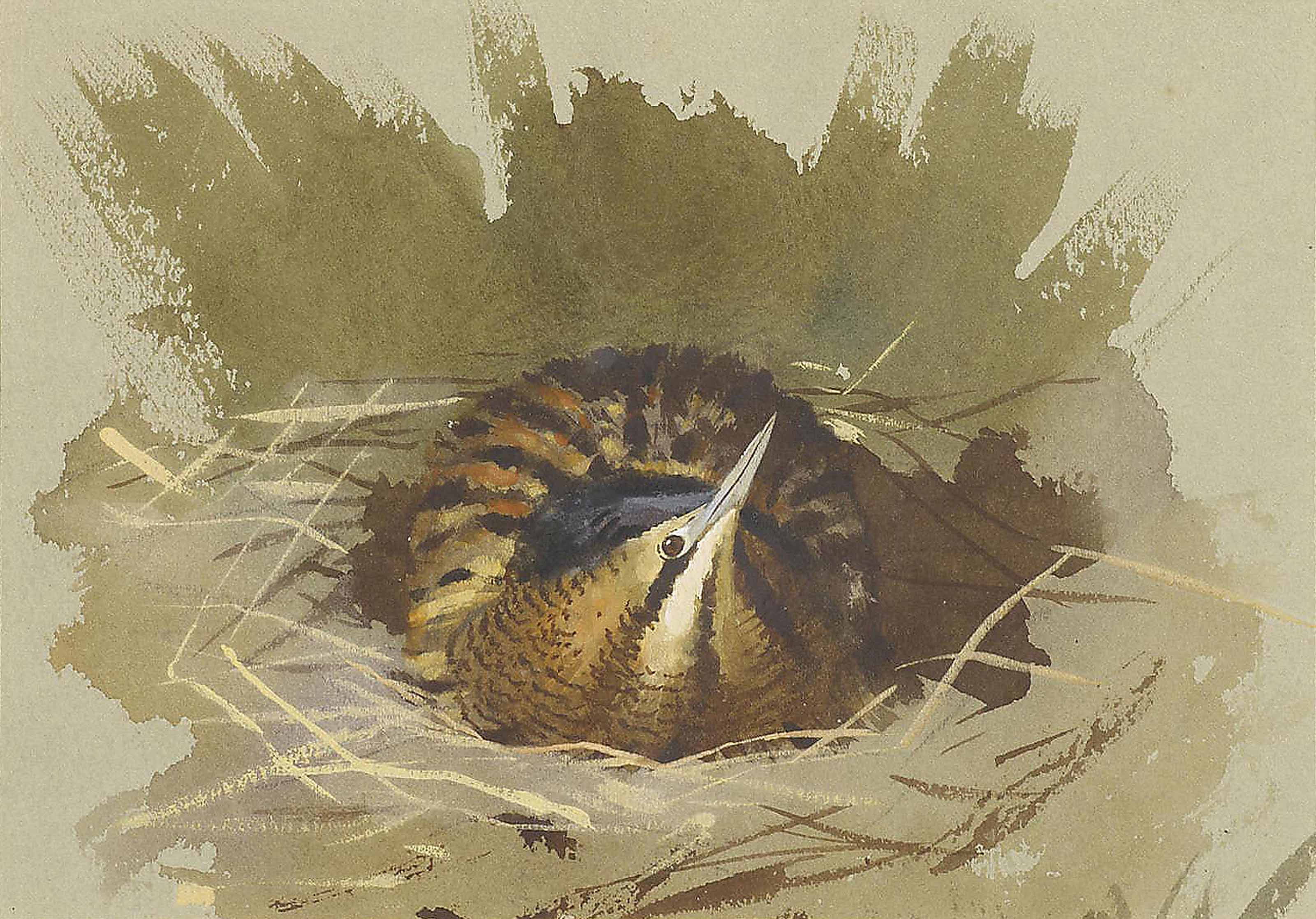 Bittern in Nest