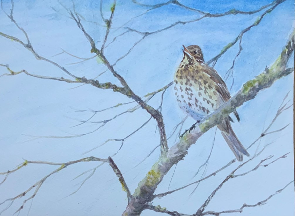 Song Thrush, A Song Thrush Sings