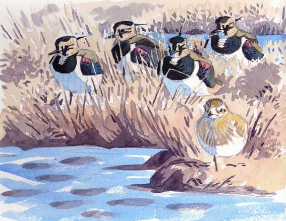 Lapwing, Haunts of the Lapwing